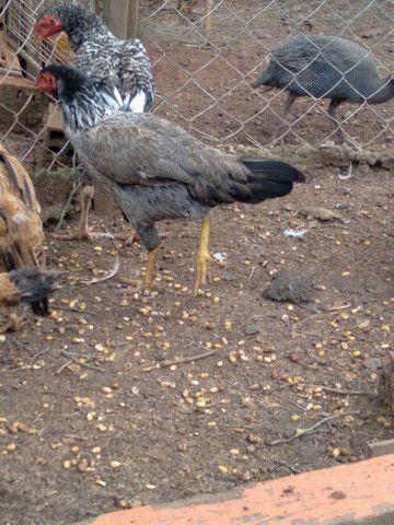 galinhas - Foto 4