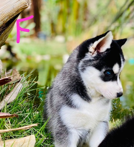 Husky siberiano compre já * - Foto 4