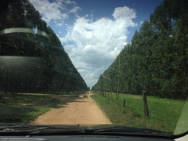 Floresta Eucalipto - Joao Pinheiro MG - Foto 2