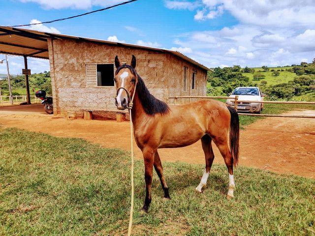 Potro 1/2 sangue árabe 1/2 sangue paint horse