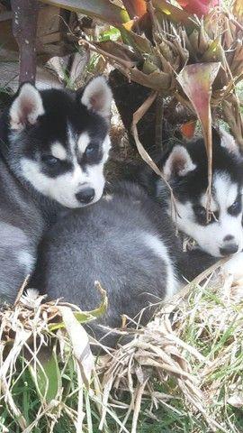 Husky siberiano compre já * - Foto 3