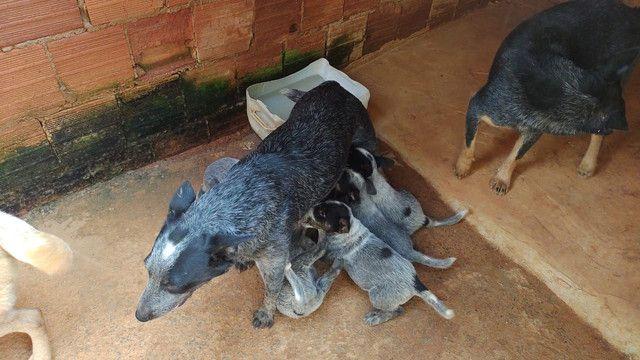 Filhotes de boiadeiro australiano