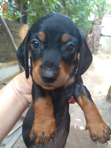Cachorro salsichinha - Foto 2
