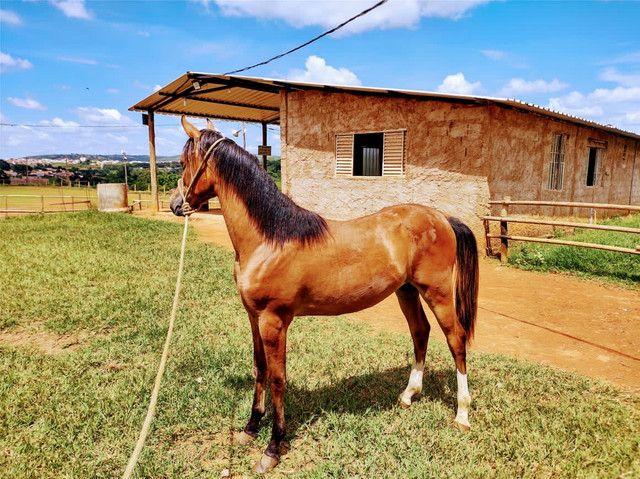 Potro 1/2 sangue árabe 1/2 sangue paint horse  - Foto 2