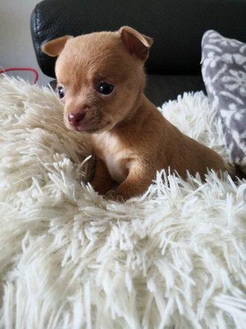 Chihuahua machinhos e fêmeas com garantias de vida e de saúde! - Foto 2