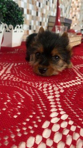 Lindo filhote yorkshire terrier top