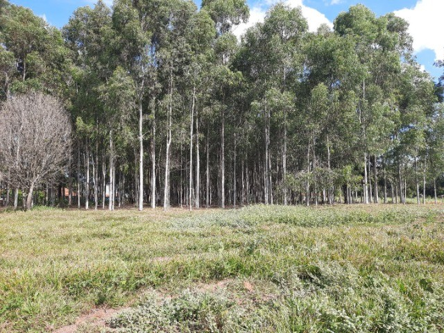 Vendo quadro de eucalipto citriodora