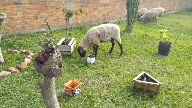 Ovelhas  - Foto 3