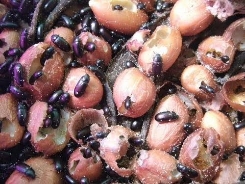 Besouro do Amendoim - Foto 2