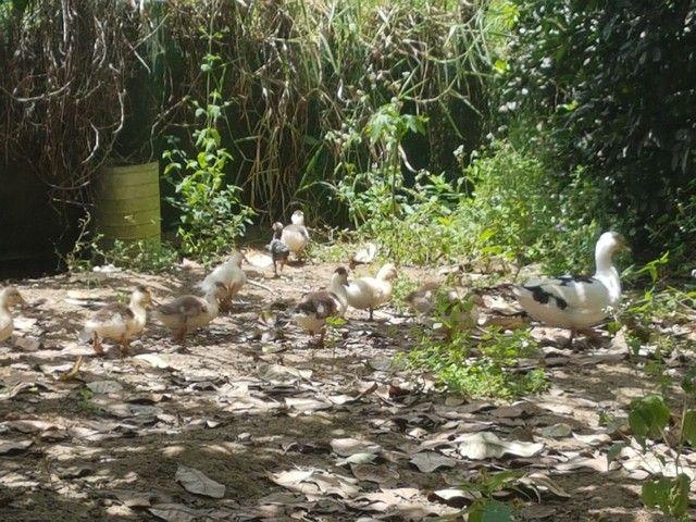 Pato 1 fêmea e 9 filhotes
