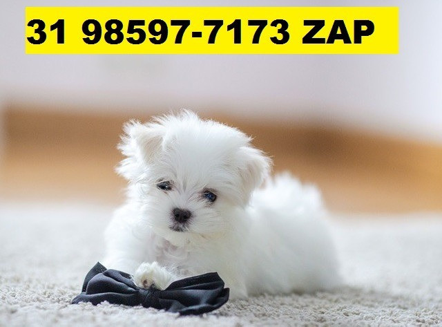 Canil Filhotes Cães Líder BH Maltês Poodle Beagle Yorkshire Shihtzu Lhasa