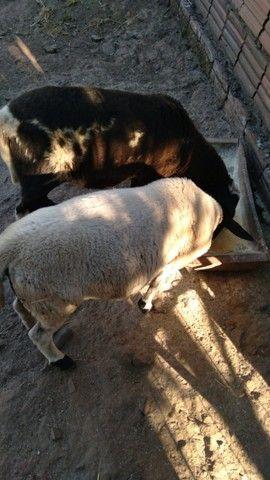 Vendo casal de carneiros  - Foto 3