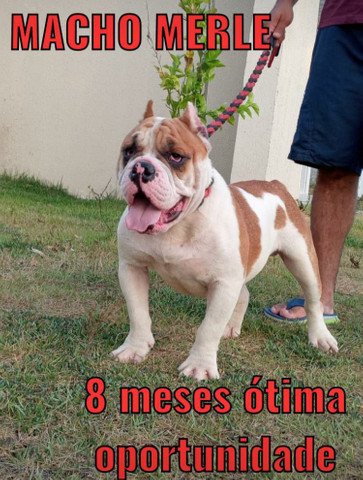 Exotic bully merle macho  - Foto 5