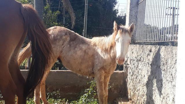 Cavalos crioulos - Foto 4