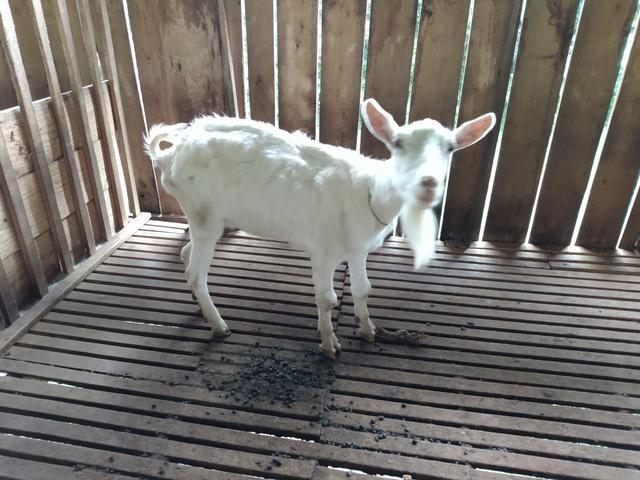 3 cabras saanen - Foto 5