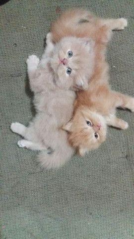 Gato persa - Foto 5