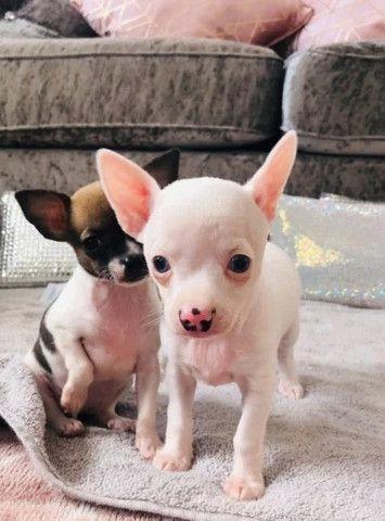Chihuahua machinhos e fêmeas com garantias de vida e de saúde! - Foto 5