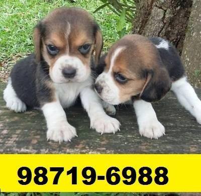 Canil Maravilhosos Filhotes Cães BH Beagle Lhasa Yorkshire Shihtzu Basset Poodle