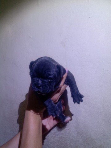 Bulldog francês filhotes femea - Foto 3