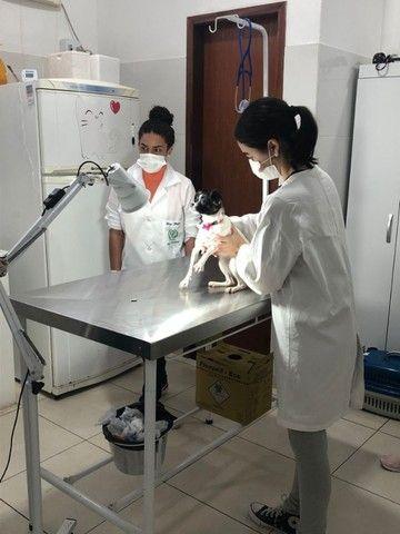 Pinscher com chihuahua - Adoção Responsável - fêmea - Foto 4
