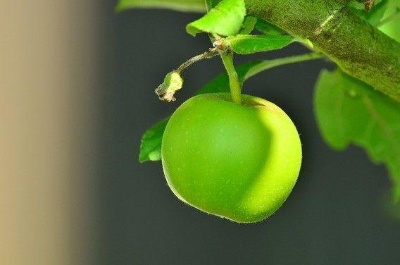 mudas de pera e maçã produzindo - Foto 4