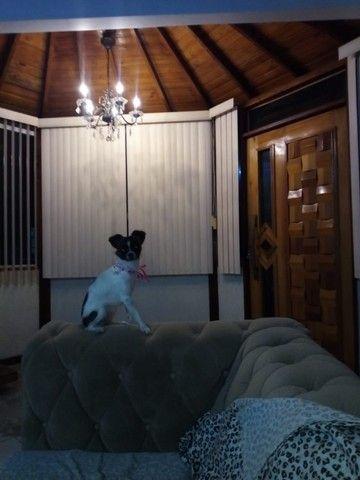 Pinscher com chihuahua - Adoção Responsável - fêmea - Foto 6