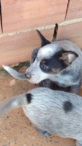 Filhotes de boiadeiro australiano - Foto 2