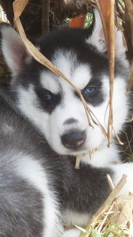 Husky siberiano compre já *