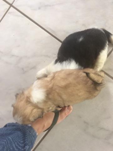 Lhasa Apso Filhotes de cachorro lhasa apso puro