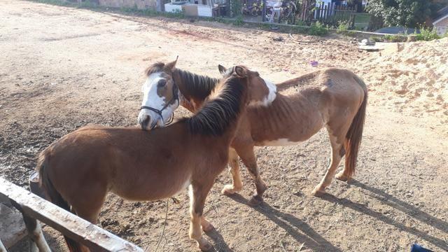 Cavalos crioulos - Foto 6