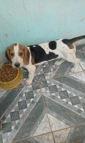Beagle com americano 1 mese