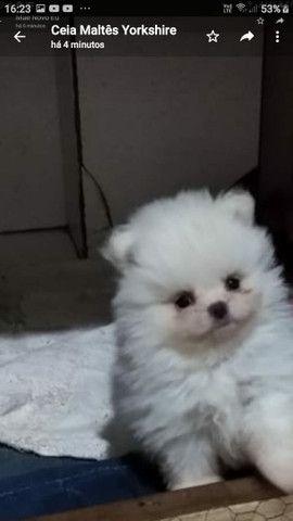 Vende-se cachorro macho Luluzinho da Pomerânia anã