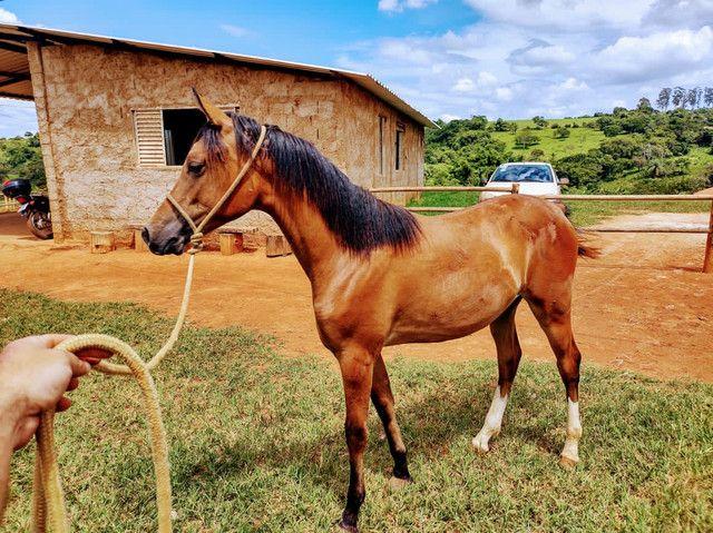 Potro 1/2 sangue árabe 1/2 sangue paint horse  - Foto 4