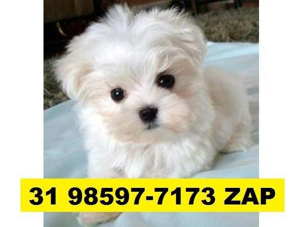 Canil Lindos Filhotes Cães BH Maltês Fox Yorkshire Poodle Shihtzu Lhasa Beagle