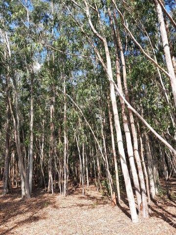 Vendo quadro de eucalipto citriodora - Foto 5