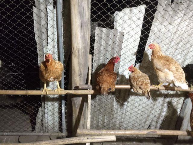 Vendo 40 galinhas! - Foto 5