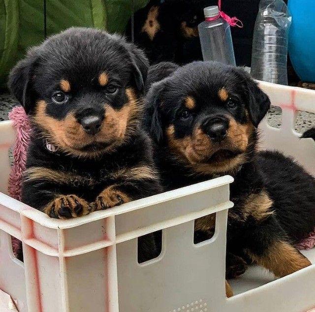 Filhotes de Rottweiler Maravilhosos - Foto 3