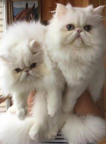 Lindos Gatos Persa  - Foto 3