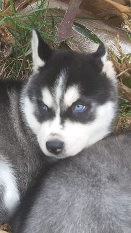 Husky siberiano compre já * - Foto 2