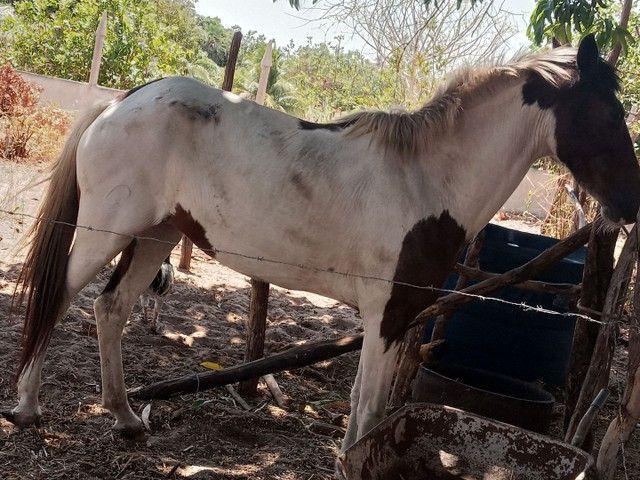 Cavalo e Égua - Foto 4