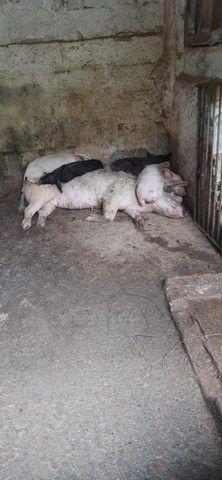 Vendo Porcos (Adultos e Filhotes)