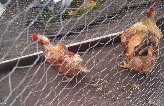 Vendo casal de galinha vermelha - Foto 3