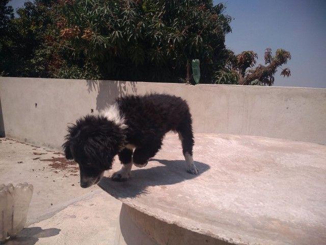 Doa-se Filhote macho Poodle - Foto 5