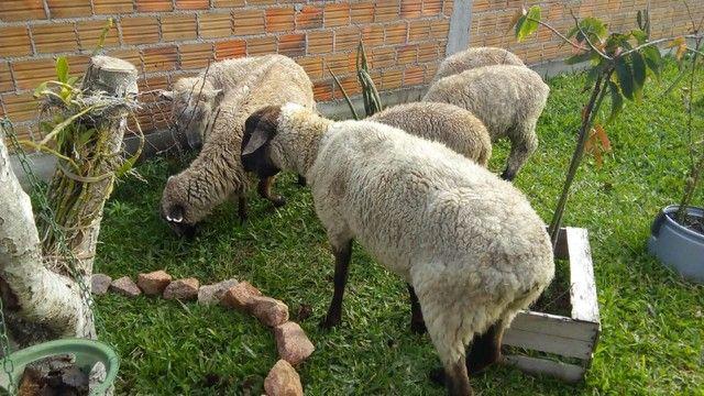 Ovelhas  - Foto 5