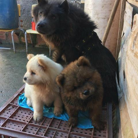 Vende-Se Cachorro Chow-Chow