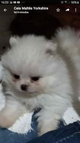 Vende-se cachorro macho Luluzinho da Pomerânia anã - Foto 2