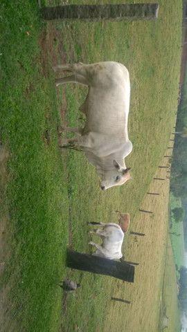 Touro Brahman e vaca Nelore - Foto 3