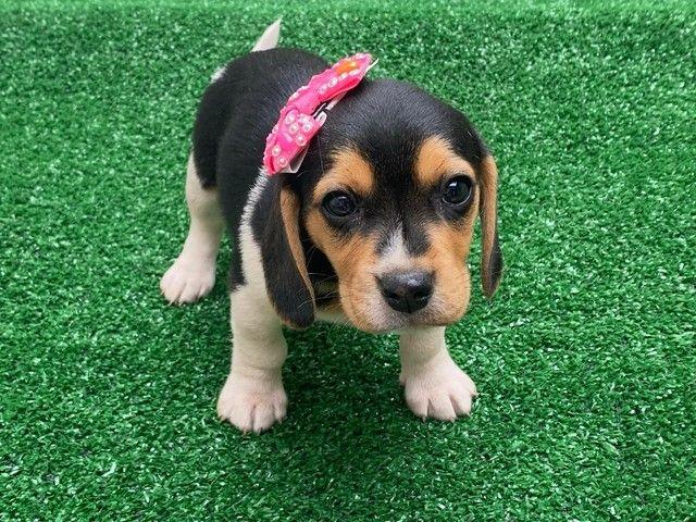 Lindas Beagle com Garantia e Procedência  - Foto 2