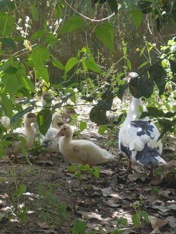 Pato 1 fêmea e 9 filhotes  - Foto 2