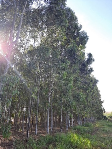 Vendo quadro de eucalipto citriodora - Foto 3